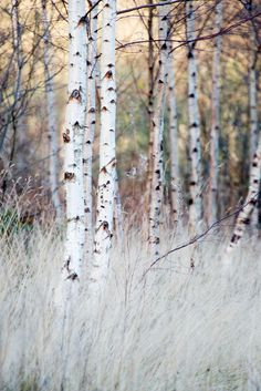 Winter Birch and Grasses, Southern Upland Way, Near Yair B… | Flickr - Photo Sharing!