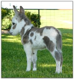 Grey and white Painted miniature donkey foal baby.