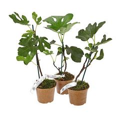 Fig Tree Plant Collection