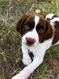Gorgeous Springer Spaniel Puppy
