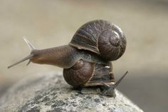 An unusual snail named Jeremy finally found a mate. Now he is stuck in a love triangle. - The Washington Post