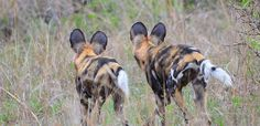 African wild dogs by Paolo Giovanni Cortelazzo in the Kruger National Park