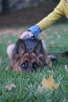 German Shepherd Dog Dynamite Gag Video Awe the old German Shepherd fetching a stick comes back with lit dynamite gag. I love it. Click below to watch Just For Laughs Gags funny YouTube video. Enjoy...
