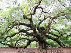 The Angel Oak, located in John's Island, SC, near Charleston, is one of the oldest trees on the East Coast. The Angel Oak is in danger...