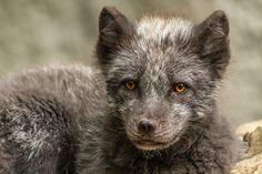 Voyage L'Ouest de l'Islande : Terre Sauvage et Renards Arctiques | Nord Espaces Free Pictures, Free Photos, Les Fjords, Wildlife Park, Arctic Fox, Predator, Mammals, Nature, Foxes
