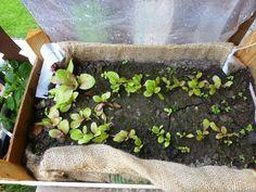 Insalata coltivata in una cassetta di legno. Riciclo