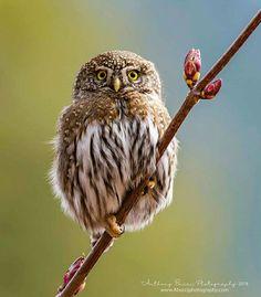 Beautiful Owl, Animals Beautiful, Cute Animals, Owl Photos, Owl Pictures, Small Birds, Love Birds, Owl Bird, Pet Birds