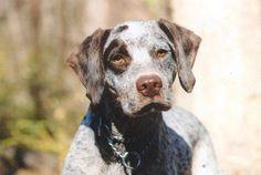 Braque du Bourbonnais Braque Du Bourbonnais, Rare Dogs, Brittany Spaniel, Cute Dog Pictures, Most Popular Dog Breeds, Dog Names, Doge, Dog Friends, Labrador Retriever