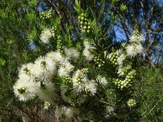 Rosalina essential oil (Melaleuca ericifolia), also sometimes called lavender tea tree, is a gentle yet effective choice for supporting younger children with respiratory congestion. Citrus Essential Oil, Essential Oils, Snow In Summer, Full Sun Plants, Australian Plants, New Roots, Lavender Tea, Agapanthus, Home Garden Plants