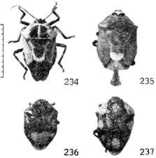 Fig. 234 - Oplomus (Catostyrax) catena (Drury, 1.872) (Asopinae). Fig. 235 - Coryzorhaphis leucocephala Spinola. 1837 (Asopinae). Fig. 236 - Stirctrus (Stirelrus) smaragdalus (Lepeletier & Serville, 1328) (A sopinae). Fig. 237 - Stiretrus (Stictonotion) decastigma (Herrich-Schäffer, 1838) (Asopinae). Insetos do Brasil. http://www.acervodigital.ufrrj.br/insetos/insetos_do_brasil/conteudo/tomo_02/02_scutelleroidea.pdf