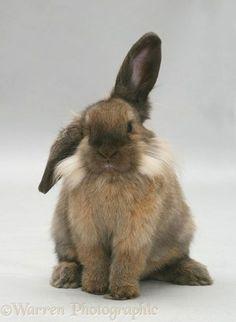 Photograph of Lionhead-cross rabbit. Rights managed image. Rabbit Life, Pet Rabbit, Baby Bunnies, Cute Bunny, Adorable Bunnies, Bunny Rabbits, Bunny Bunny, Animals And Pets, Baby Animals