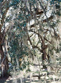 Spanish moss dripping from the live oaks at the Fenwick Hall reception. photo: @tecpetaja | design: @calderclark | #southernwedding #plantationwedding #luxurywedding