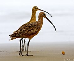 Two long-billed Curlew, silhouetted against the fog