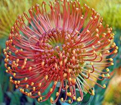 Flame Giant - California's Resendiz Brothers Protea in Fallbrook #AmericanGrown #OriginMatters #CaFlowers