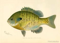 This chromolithograph of a Blue Gill Sun Fish (Lepomis Pallidus) was created byåÊartist S. Denton (Sherman Foote) born in 1856 and died in 1937 Well known for his exquisite drawings of fish, birds, Antique Prints, Vintage Prints, Fish Pillow, Fish Wall Art, Wood Fish, Fish Drawings, Fish Print, Vintage Fishing, Canvas Art Prints