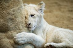 White lion cubs born Germany | AP and picture alliance sign exclusive distribution deal