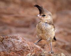 Chiming Wedgebill by ~Lightkast on deviantART