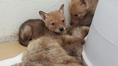 Two coyote puts take refuge behind fur donated by Born Free USA's Fur for the Animals campaign. These pups were found wandering & were taken in after their mother was sadly hit by a car. PHOTO: Fund for Animals Wildlife Center