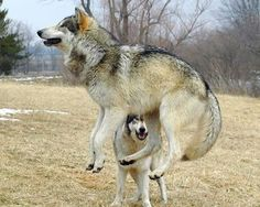 A wolf photo bomb...