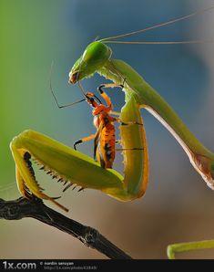 Mantis love????