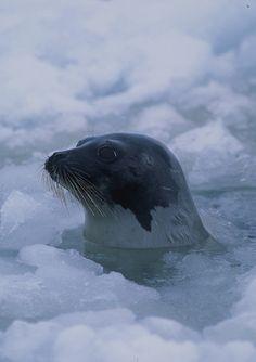 Harp Seal, Greenland