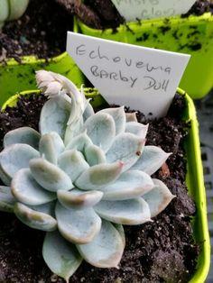 Echeveria 'Barby Doll'