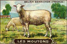 vintage illustration of sheep, high res
