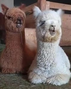Alpacas chew like Carlton dances - All about the Animals and pets is here Cute Little Animals, Cute Funny Animals, Cute Dogs, Cutest Animals, Funny Cute, Animal Jokes, Cute Animal Videos, Cute Creatures, Animals And Pets