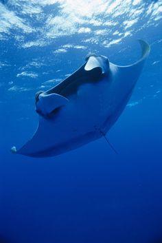 Manta ray in the deep blue sea. Great Barrier Reef, Underwater Life, Deep Blue Sea, Mundo Animal, Ocean Creatures, Sea And Ocean, Sea World, Underwater Photography, Ocean Life