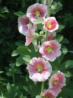 hollyhocks......love...when I was a child, these grew on the side of the barn