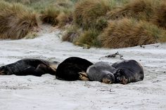 I took this snap on Dunedin peninsula. New Zealand sea lions are one of the rarest seal species in the world and unfortunately are in population in decline.   They are in the highest threat classification: Nationally critical with only about 10,000 left.