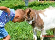 Ghid de inițiere pentru înființarea unei livezi familiale cu meri, peri, cireși, pruni, piersici și caiși   Paradis Verde Goats, Animals, Green, Animales, Animaux, Animal Memes, Animal, Goat, Animais