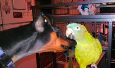 My min pin and blue crown conure kissing, they are both lovers!