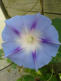 Really pretty flowers on my porch flowers pinterest pretty morning glory morning gloriespretty flowersmornings mightylinksfo