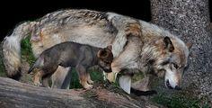 Mal im fast direkten Größenvergleich...   Ein kleiner Zufallstreffer das das einzige Mädel aus dem 4er Wurf auf dem Baumstamm neben ihrem Papa spazierte...   Einfach zuckersüß die kleine Timberwolffamilie!!   WP Lüneburger Heide