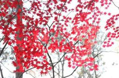 """saikouh:  japanese maple"