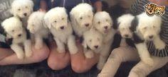 Nine Old English Sheepdog Puppies