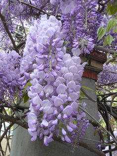 Wisteria flowers, Love these!