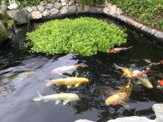 Our living Jewels, koi.