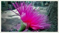 ഒരു മരത്തണലിൽ  തനിയേയിരിക്കുമ്പോൾ  ഒരു പനിനീർ ചാമ്പ- പൂവിൻ പുളിപ്പ് നിൻ  മിഴിയിൽ വിരിഞ്ഞത്...    Photography by Arun Chullikkal  Camera: MotoG