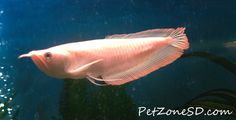 Albino Silver Arowana, one of the rarest and highly sought after Arowanas in the fish hobby!  (http://www.petzonesd.com/albino-silver-arowana/)