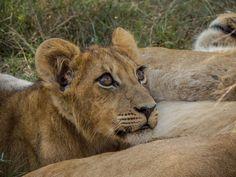 Lion Cub In Okavango Dleta