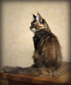 Another beautiful Maine Coon Cat!