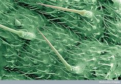 Stinging hairs on a nettle leaf.