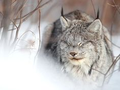 For the last three winters, I've been able to spend a great deal of time with this Canada lynx who has chosen a large private property and heavily forested area as her home range. She is a special and unique animal, and I'm very lucky that she is comfortable with my presence. They are typically very elusive. This photo gives an accurate idea of the amount of action you can expect to see from a Canada lynx for a large portion of the day! I spent quite a few hours sitting in the freezing cold… Smithsonian Photo Contest, Canada Lynx, Funny Animals, Cute Animals, Unique Animals, Wild Ones, Ocean Life, Wildlife Photography, Big Cats