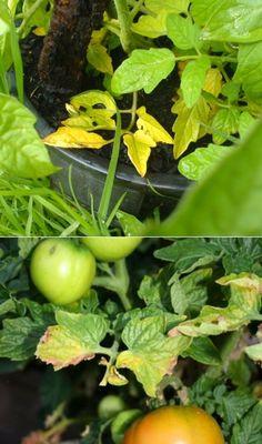 Alternative Gardning: Why Tomato Plants Turn Yellow