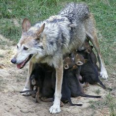 May this be what 2013 gives us more of....more wolves! <3