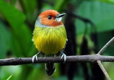 Lulu's Tody Flycatcher (Poecilotriccus luluae) found in the highlands of the Amazon and Northern Peru