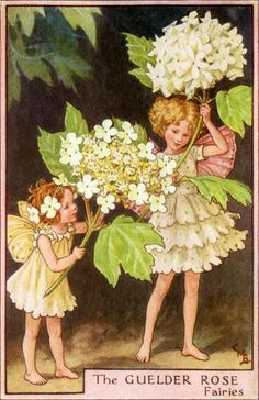 Illustration for the Guelder Rose Fairies from Flower Fairies - Author / Illustrator Cicely Mary Barker Cicely Mary Barker, Art And Illustration, Art Illustrations, Fairy Pictures, Vintage Fairies, Vintage Art, Vintage Flowers, Flower Fairies, Fairy Art