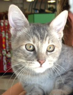 Babs is a perky, light gray, female tabby who is about 4 months old. She is spayed and vaccinated, and is quite vocal. Apply with Another Chance Animal Welfare League Adoption Center at www.acawl.org. Call 246-9938. Go to www.redding.com